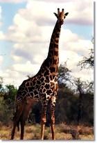 Giraffe_408012