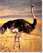 Ostrich2
